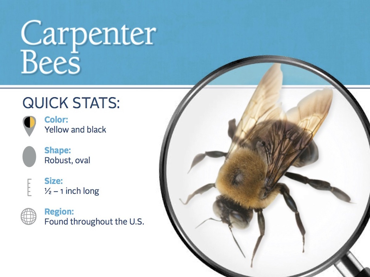 carpenter-bee-pest-id-card_front