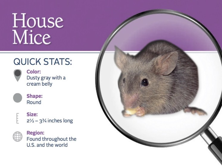 house-mice-pest-id-card_front
