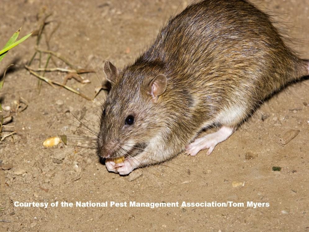 norway-rat-_v1d2444