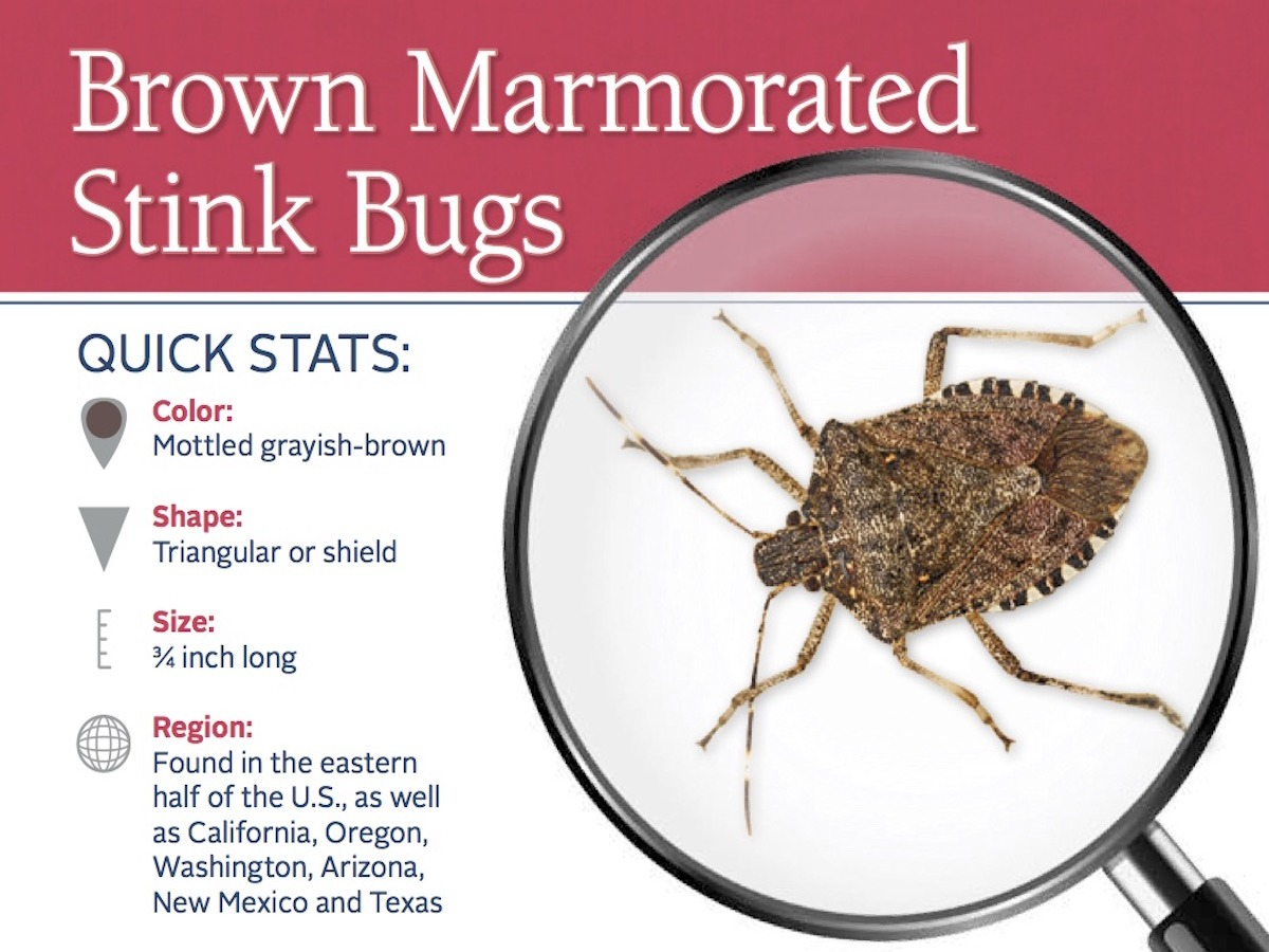 stink-bug-pest-id-card_front
