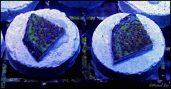 Hologram Montipora