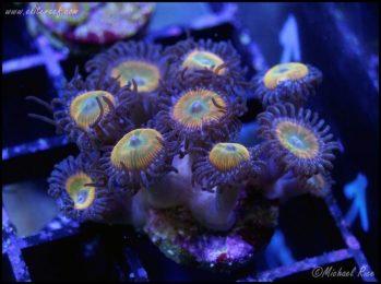 elite_reef_coral_DSC9840