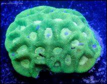 elite_reef_coral_DSC9848