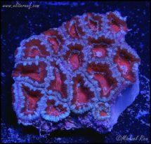 elite_reef_coral_DSC9850