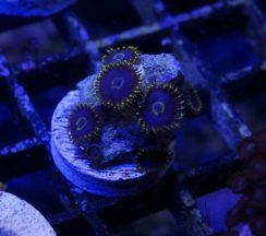 """""""Purple Hornets"""" zoanthids"""