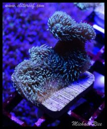 elite_reef_frags_DSC1126