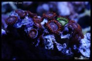 elite_reef_frags_DSC1137