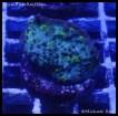 elite_reef_coral_dsc2482