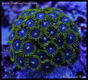 elite_reef_coral_dsc2811
