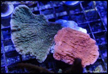 elite_reef_coral_dsc2815