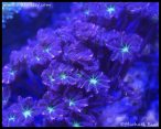 Clove polyps