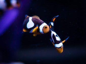 onyx clownfish