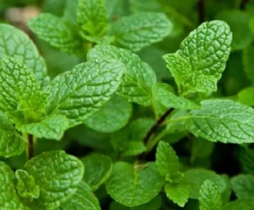Health Benefits of Scent Leaf