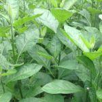 Health Benefits of Bitter Leaf