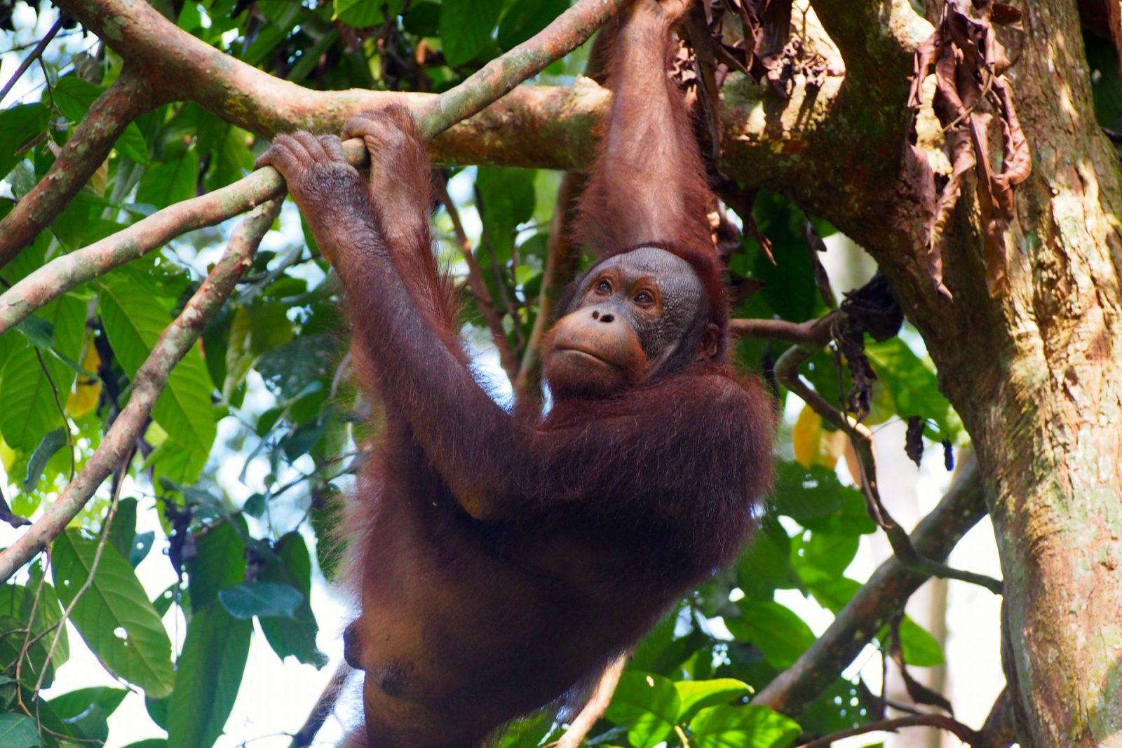 Sepilock, Borneo