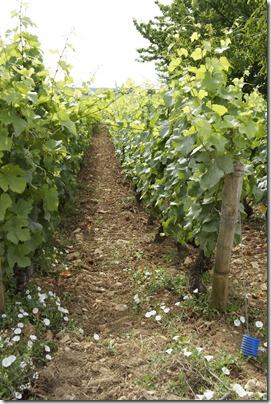 Beautiful Pinot vines in Burgundy