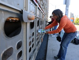 Anita Krajnc gives water to pigs en route to slaughter