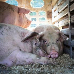 Pigs comfort each other as they await slaughter