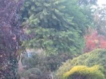 Prunus, jackaranda, golden diosma, crepe myrtle, and various other bushes at Becker's