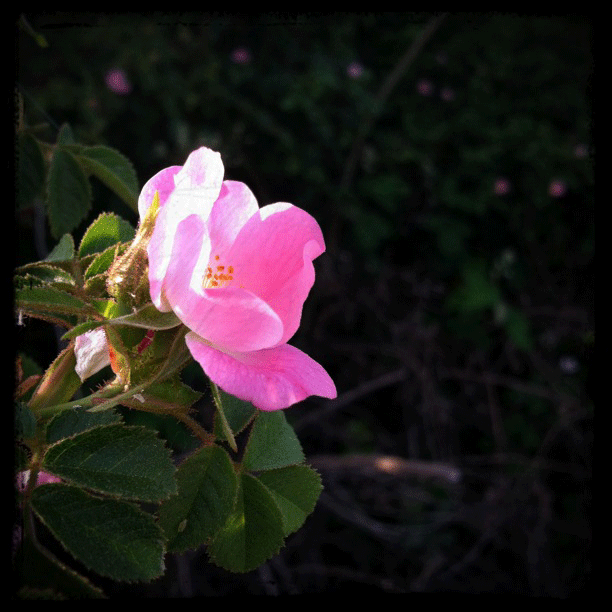 A lone pink bloom is lit up in a dark background