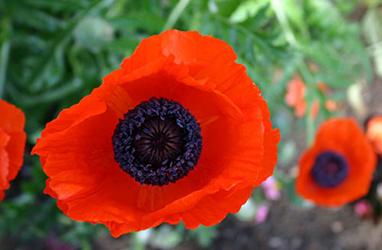 Photograph © Elizabeth Williams Bushey - red poppy, NY