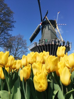 Tulips and a windmill! How Dutch!