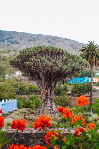 Drago Tree Tenerife excursions