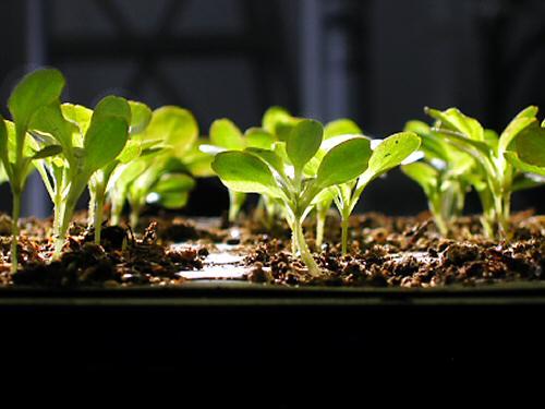 seedlings