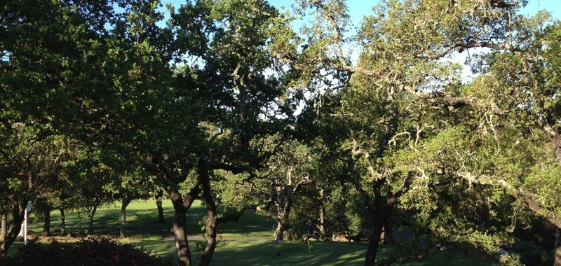 Oak trees at my grandmother's house in Napa