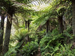 The path meanders through stands of tree ferns.