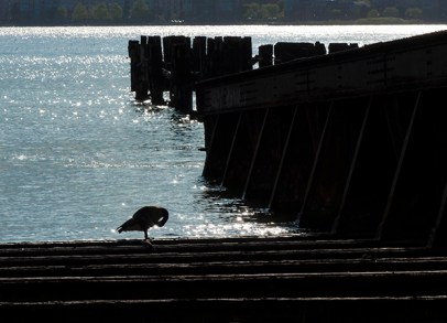 A Canada Goose preens beside an old pier.