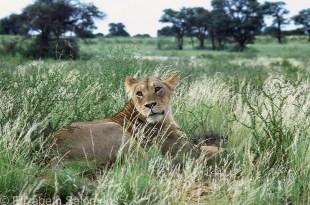 Lion # 5