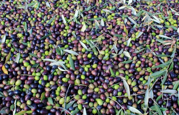 Tuscany - Olive Harvest