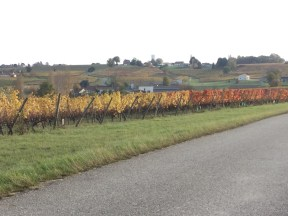 More Vineyard Landscape