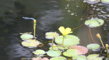A common blue and a small red-eyed damselfly