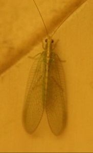 One of the green lacewings.