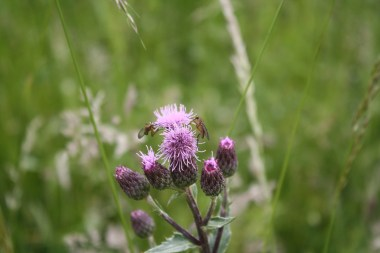 Thistle and rather fearsome looking insects.