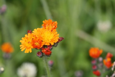 The fox-and-cubs plant.