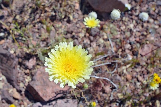Desert Dandelion Wildflower in Death Valley