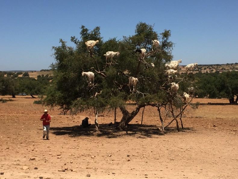 A árvore de Argan e algumas cabras em cima dela.