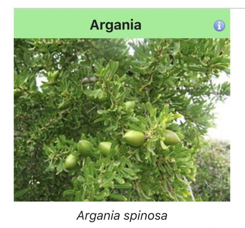 detalhes das frutinhas de argan, na árvore. Foto retirada do Wikipedia