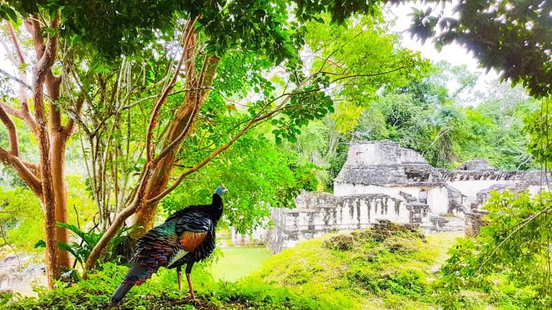 pavão misterioso nas ruínas de Tikal