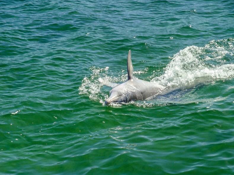 golfinho no mar do caribe