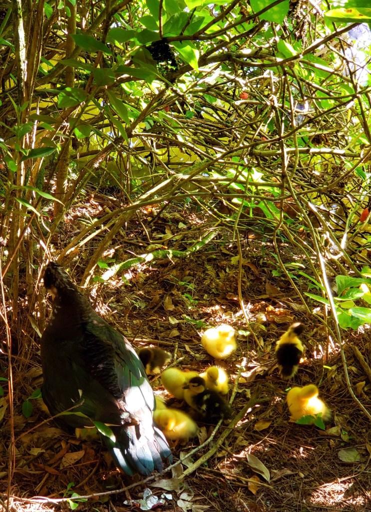 Já guarda essa dica pra sua vida: No verão existe a maior probabilidade de você encontrar filhotes na natureza. Bebês patinhos e sua mamãe no Lago Negro, em Gramado.