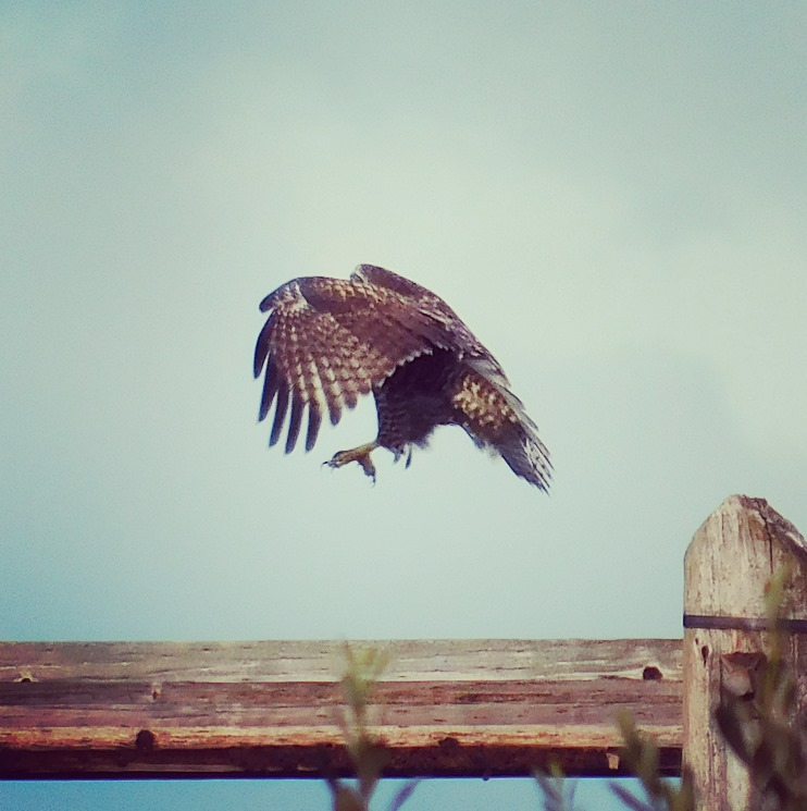 The hawk decided it wanted to perch 18 inches to the left. Made a bit of a show of it.