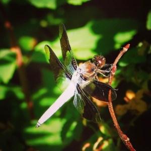Skimmer (dragonfly)