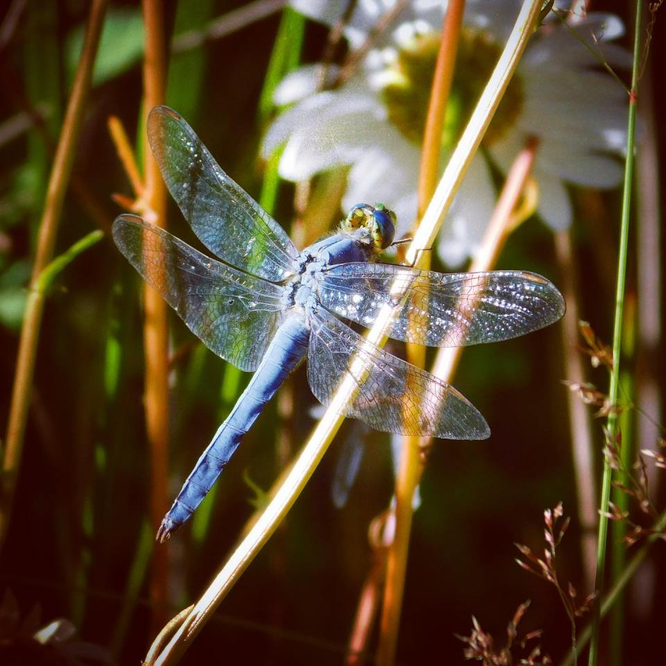 """Five types of insects are on my approved list: bees, ladybugs, lightning bugs, butterflies, and dragonflies. This dragonfly — the western pondhawk — gets bonus points because it eats the western malaria mosquito. The mosquito's binomial name is Anopheles freeborni, which roughly translates to """"unprofitable bohemian""""."""