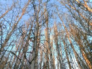 Canoe birch