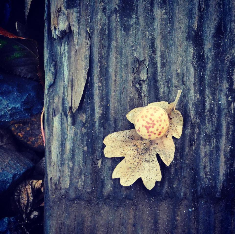 "I call this one ""Oak apple on oak leaf on railroad tie on rocks on Earth"". Curtin Creek • Vancouver, Washington"