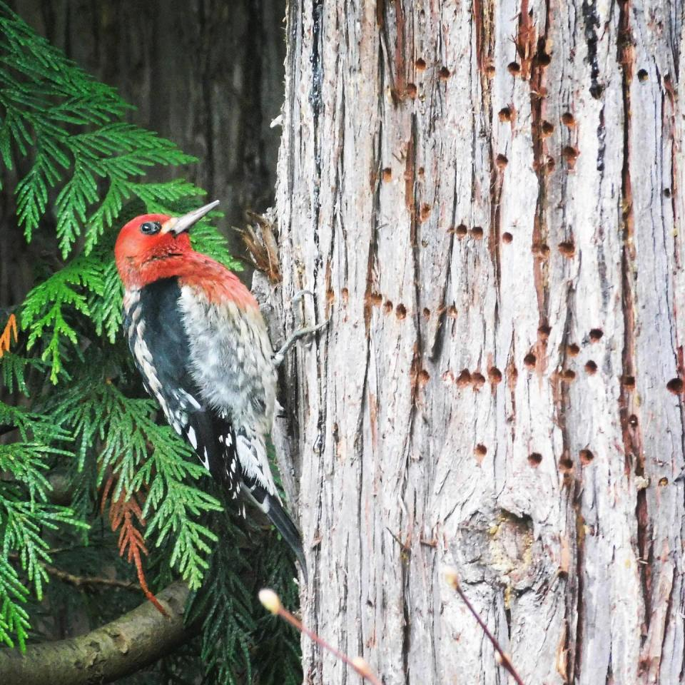 This red-breasted sapsucker was outside my window this morning. While there's evidence of extreme productivity, I couldn't hear a thing.
